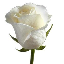 Роза Вайт Шоколад H80