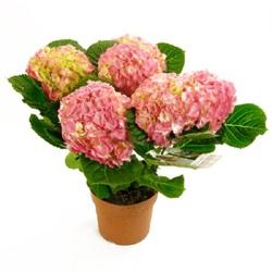 Гидрангея розовая D15