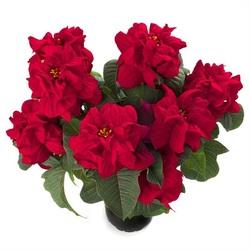 Пуансеттия Винтер Роуз Красная D15