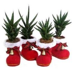 Сансевиерия в новогоднем ботинке КЕ150