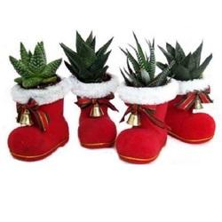 Хавортия микс в новогоднем ботинке КЕ 149