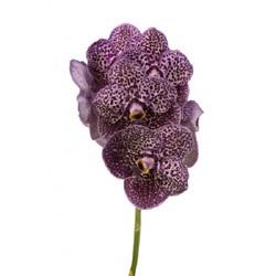 Орхидея Ванда в стекле Deep Purple Spots H70