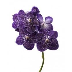Орхидея Ванда в стекле Violetta Dark H70
