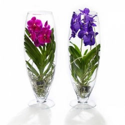 Орхидея Ванда в стекле Шампань H70