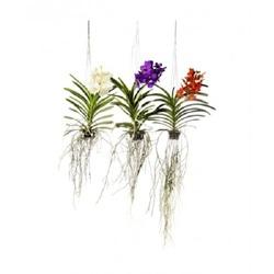 Орхидея Ванда подвесная