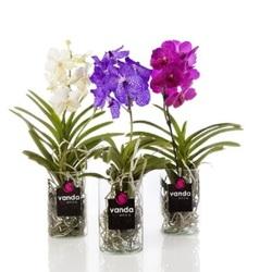 Орхидея Ванда Мишель H60(20)