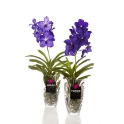 Орхидея Ванда Шарлотта