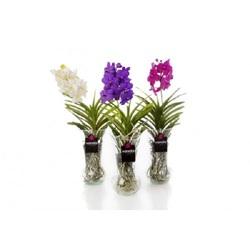 Орхидея Ванда Диабло