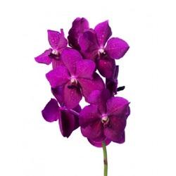 Орхидея Ванда Nitaya Raspberry Cerise H70
