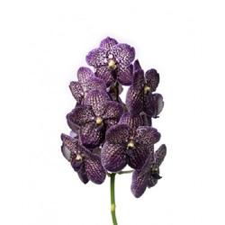 Орхидея Ванда в стекле Magic Black D70