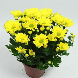 Хризантема Желтая D15