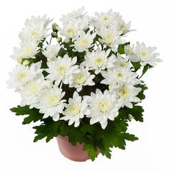 Хризантема Белая D12