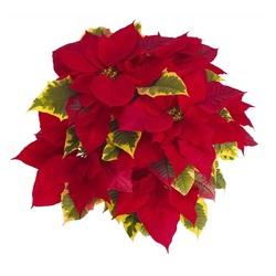 Пуансеттия красная вариегатные листья D15