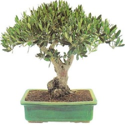 Оливковое Дерево бонсай D25 H50