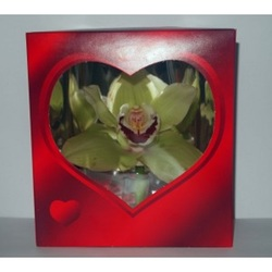 Орхидея в красной коробочке (до 99 шт.)